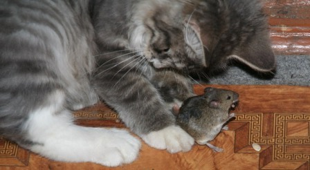 Не забувайте і про класичному методі боротьби з мишами і щурами - кішках