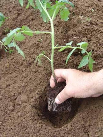 висаджування томатів